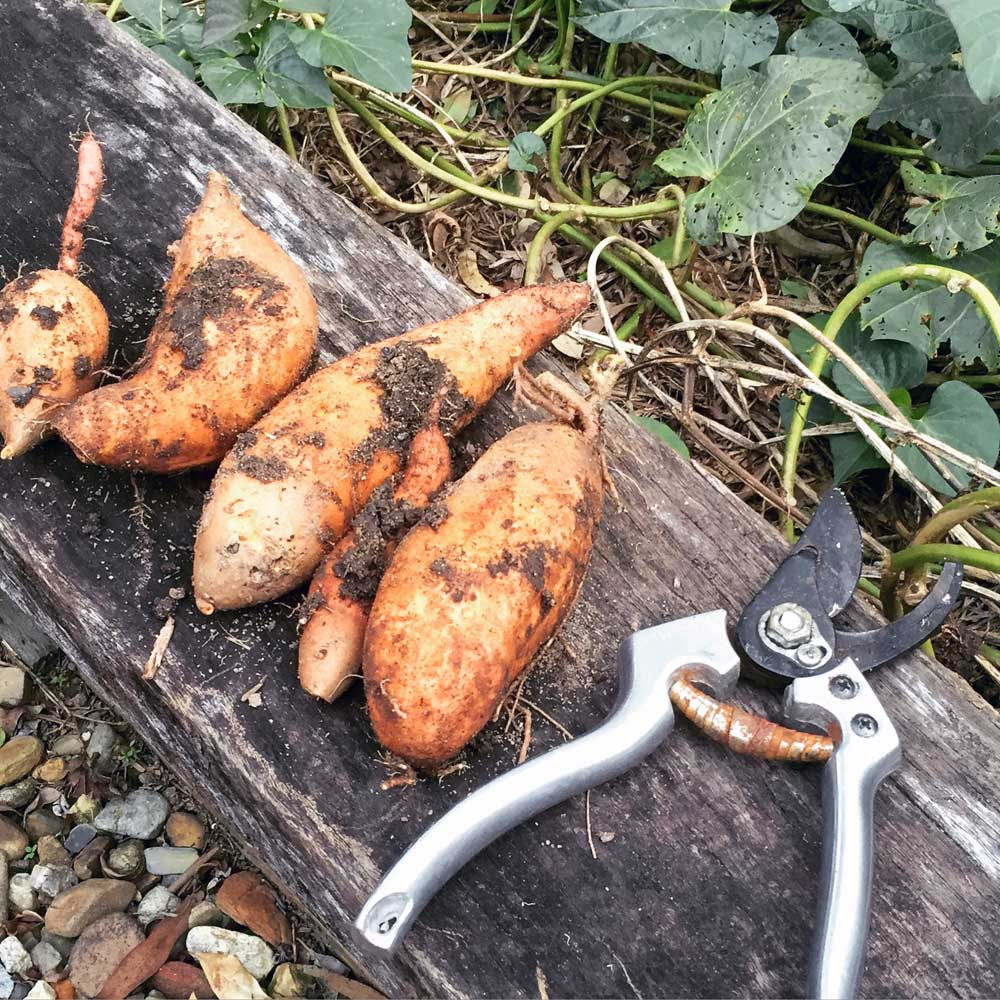 Sweet Potatoes from the veggie patch